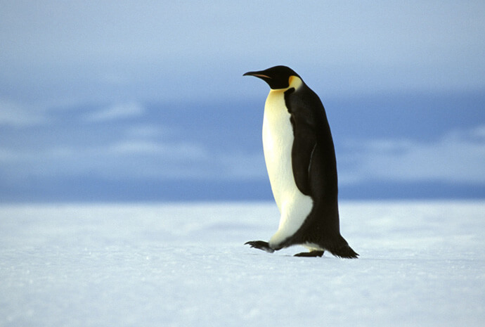 Weddell Sea Emperor Penguin Voyage with Helicopters 11 days