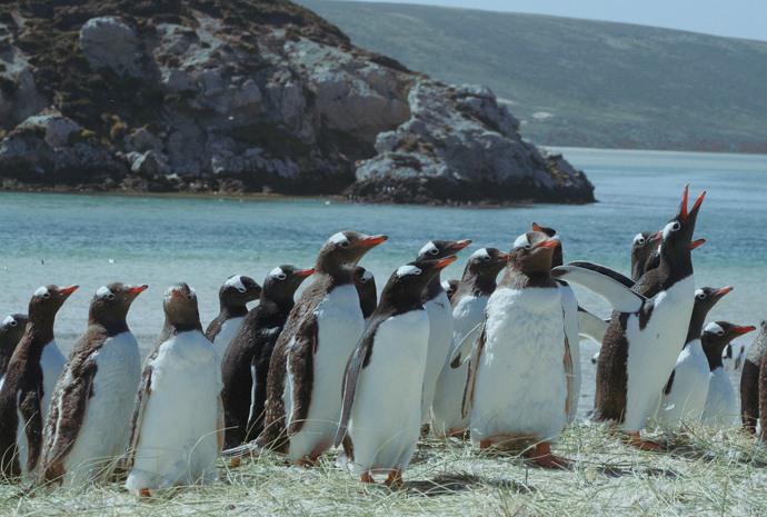 15 day Comprehensive Falklands Birds and Wildlife Tour