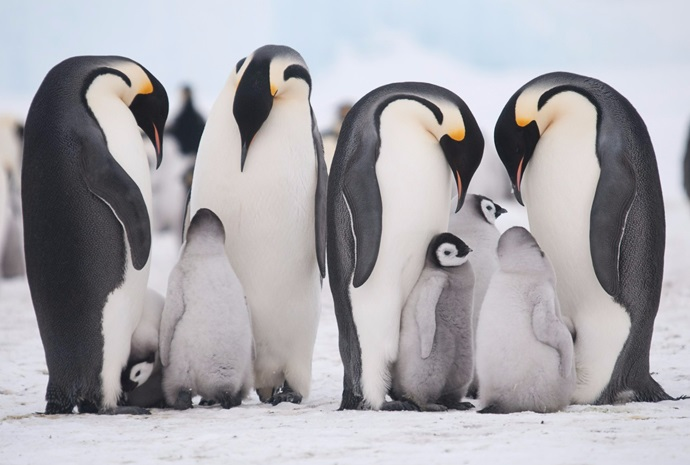 Legendary Snow Hill Emperor Penguins Expedition 14 Days
