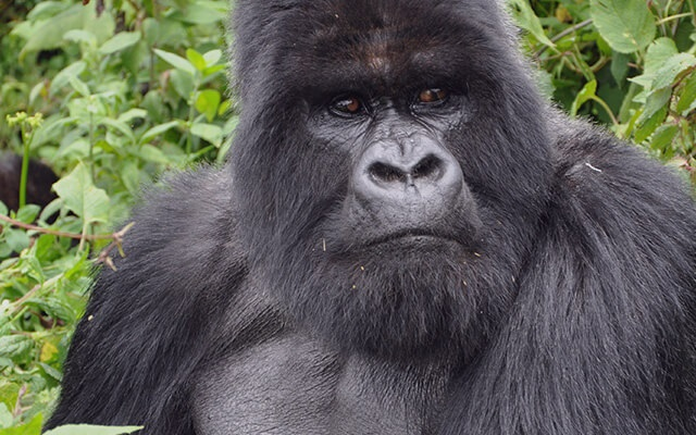 Mountain gorillas, abundant birdlife, volcanoes and much more
