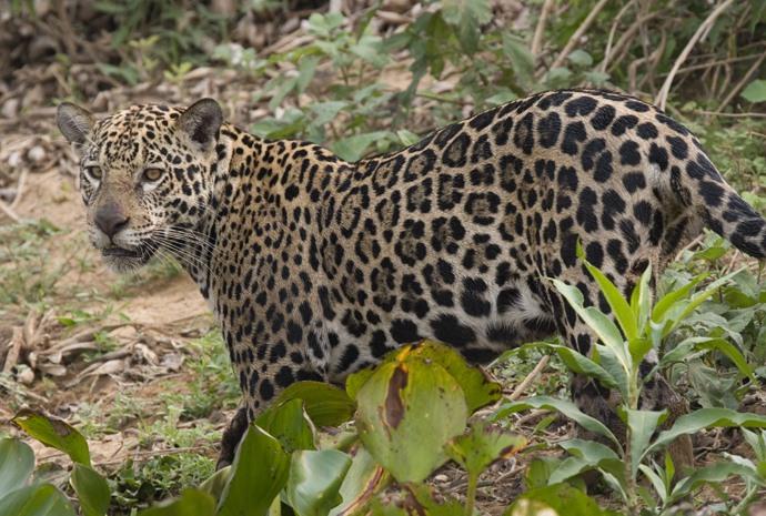 Pantanal Jaguar Extreme Expedition 11 days