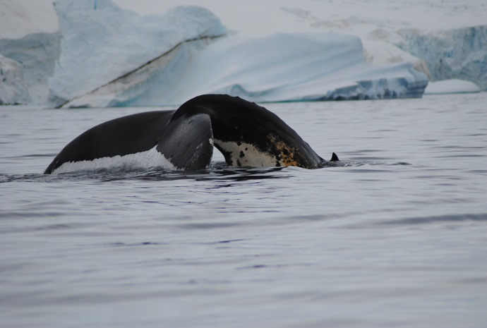 Antarctic Peninsula - Polar Circle Whale Watching 14 Days