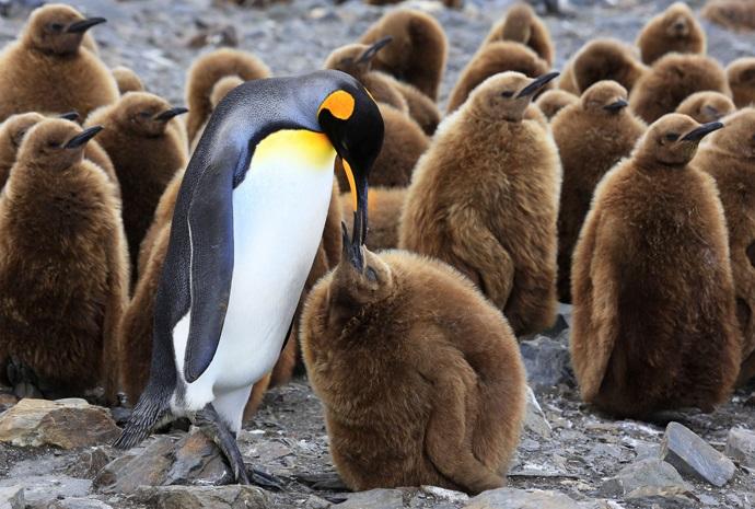 South Georgia Spring Special plus Falklands & Antarctica 20 days