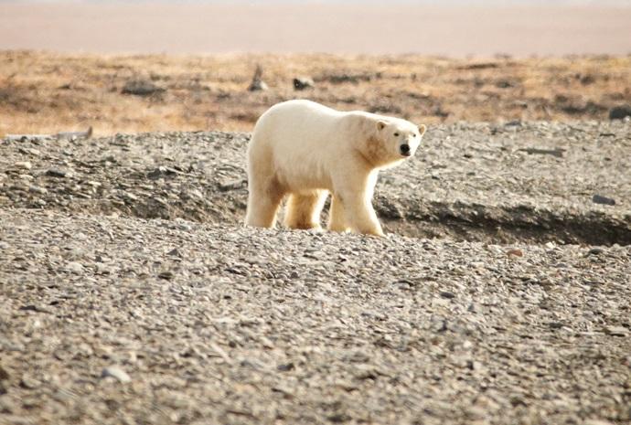Across the Top of the World - Wrangel Island 15 days