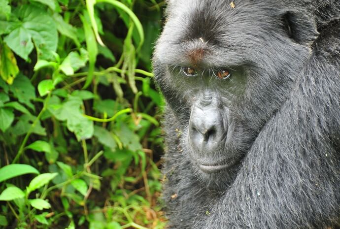 Uganda Gorilla Safari 4 Days
