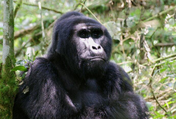 Uganda Fly-In Gorilla Safari 4 Days