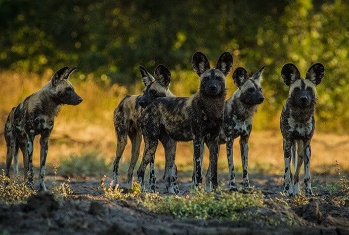 Zimbabwe Mana Pools Wild Dogs Safari Special with Award-Winning Photographer Nick Dyer – 7 Days – Small Group, Max 6 people