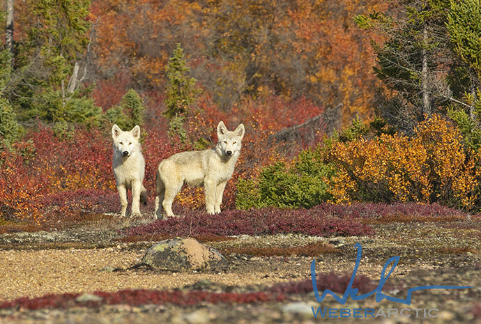 Remote Canadian Arctic - Arctic Wolf Photography Special - Small Group Max 4 Persons - 7 Days