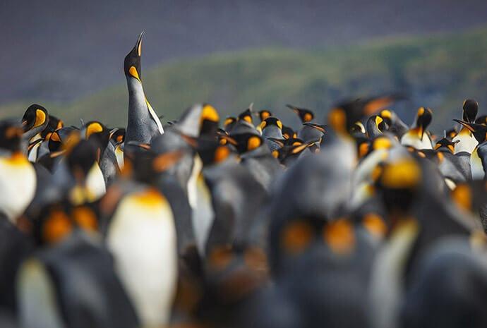 South Georgia & Antarctic Peninsula Penguin Safari With Helicopter Flights 16 Days