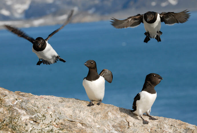 North Spitsbergen Arctic Summer by Sailing Ship - Birding Focus - 12 days