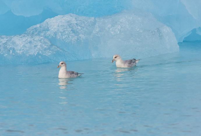 Around Spitsbergen Polar Bears & Birding Special - 10 days
