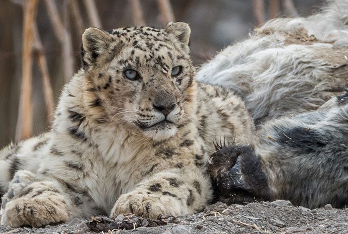 Snow Leopards in the Upper Himalayas – Photography Special Led by Chris Weston – Small Group, Max 11 Pax